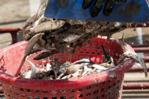 Các loại cá đều có thể sử dụng ủ phân cá, tuy nhiên dùng cá tươi nước ngọt cho chất lượng dịch đạm cá tốt nhất