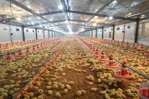 Chăn nuôi trên nền đệm lót sinh học hiệu quả khử sạch mùi hôi chuồng trại