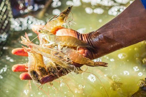 Chế phẩm Em chuối được sử dụng ủ thức ăn cho tôm, cá ăn