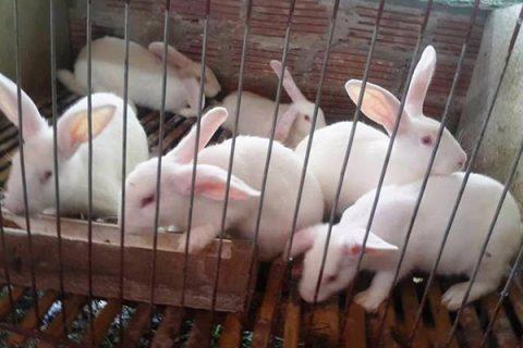 Chi tiết cách làm đệm lót sinh học nuôi thỏ