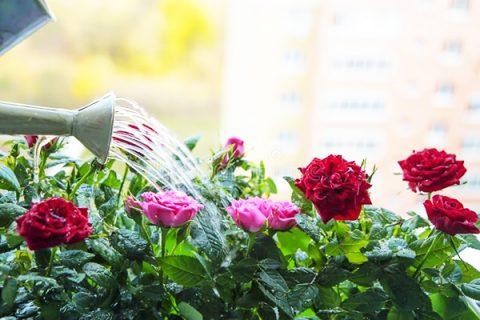 Sử dụng GE chuối tưới hoa hồng cực kỳ hiệu quả