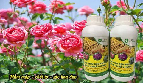 Sử dụng phân bón đậu nành humic trứng chuối cho hoa hồng rất hiệu quả