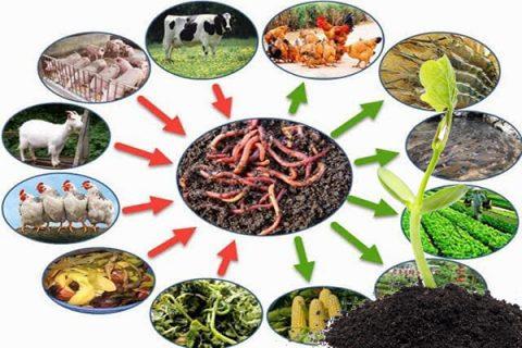 Trùn quế có rất nhiều lợi ích trong nông nghiệp