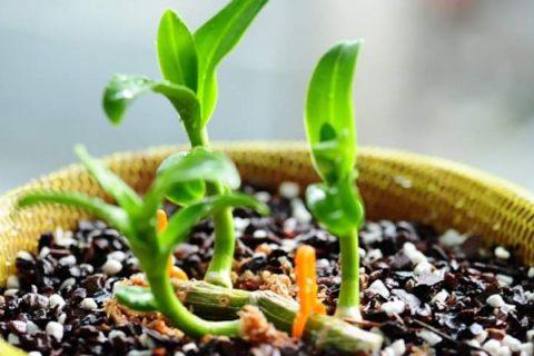 Tưới nước vo gạo cho lan giúp cây phát triển khỏe mạnh, bộ rễ tua tủa