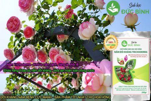 Sử dụng nấm đối kháng trichoderma cho hoa hồng, hoa lan rất hiệu quả