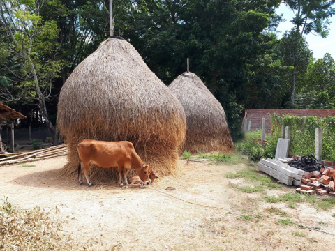 Cách sử dụng thức ăn thô ủ xanh cho bò ăn