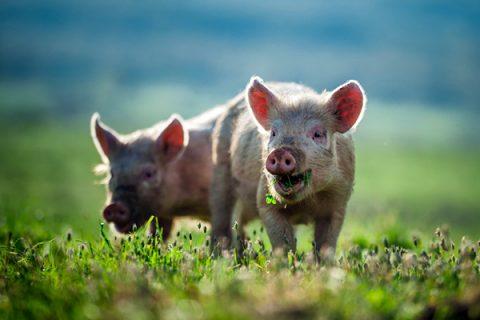 Cách ủ thức ăn cho lợn sử dụng men ủ thức ăn chăn cám lên men Emzeo dễ thực hiện, thành công 100%