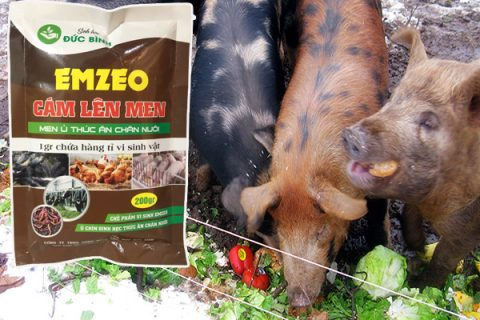 Cách ủ thức ăn cho lợn là giải pháp chăn nuôi chi phí thấp mà hiệu quả cao