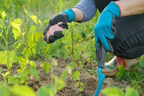 Cây hoa hồng sau khi được trồng từ 3 đến 5 ngày sẽ tiến hành phun phân bón lá trộn với phân trùn quế.