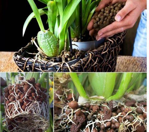 Giá thể trồng lan từ viên đất nung