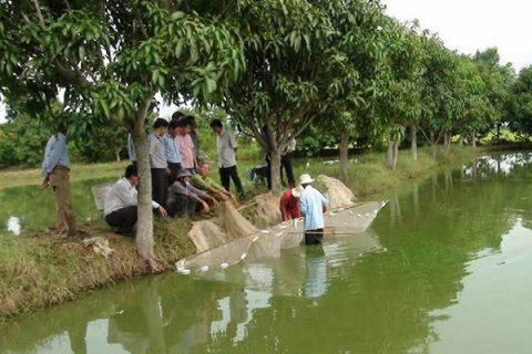 Nuôi cá nước ngọt bằng chế phẩm sinh học - giải pháp cải tạo môi trường nuôi cá