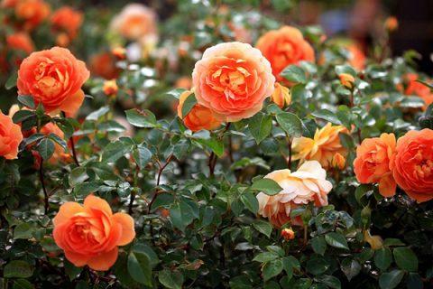 Sau 3-5 tháng trồng hồng, bạn cần phải thay 1 nửa lượng đất cũ trong chậu trồng và bổ sung thêm phân hữu cơ