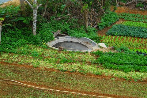 Sử dụng phân bò vừa tốt đất lại tốt cây