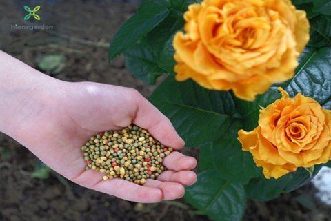 Tại sao cần phải sử dụng phân bón cho hoa hồng?