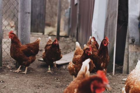 Tại sao nên khử mùi hôi chuồng gà?