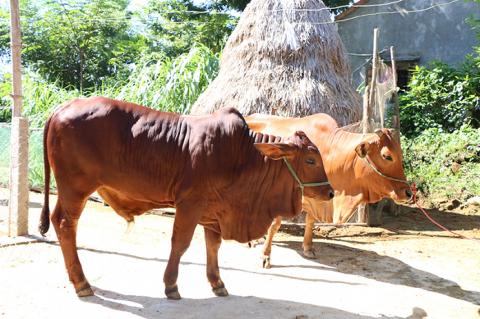 Ủ rơm chua cho bò - chăn nuôi đúng cách